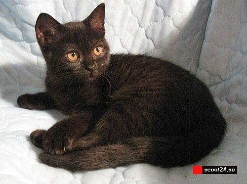 Британские короткошерстные котята фото