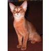Абиссинские,    бенгальские котята и пикси-бобы - самые редкие породы.