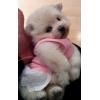 VIP! ! !   Предлагаем белых щенков шпица померанского, очень красивые