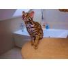 Красивые Азиатские леопардовые котята