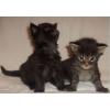 мейн-кун! котята от титулованных родителей!
