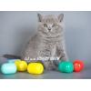 Британские котенок из питомника Silvery Snow