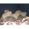 британские  лиловые и голубые котята