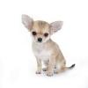 Чихуахуа очаровательные щенки продаются