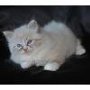 Форум Невских Маскарадны кошек и котят