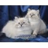 Невские маскарадные котята,  продажа