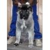 продается щенок Кавказской овчарки