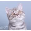 Шотландские короткошерстные котята