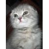 Шотландские вислоухие и прямоухие котята