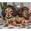 Такса кроличья и миниатюрная (карликовая)  длинношерстная щенки