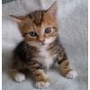 Золотые мраморные  котятки курильского бобтейла