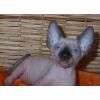 Канадский сфинкс,  голубоглазые котята (доставка)