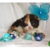 Питомник британских короткошерстных кошек Бриллиант Филд*BY