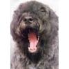 продажа щенков бувье (лучшая собака для дома и охраны)