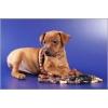 Продажа щенков Карликового Пинчера (Цвергпинчера)