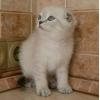 Голубой линкс - котята скоттиш-фолды