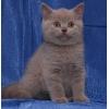 Шотландские плюшевые котятки.