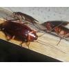 Избавиться от тараканов,   уничтожение тараканов в Волгограде